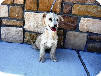Terrier (Unknown Type, Small) Mix Dog for adoption in Artesia, New Mexico - Mad Hatter