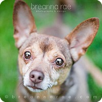 Chihuahua Mix Dog for adoption in Sheboygan, Wisconsin - Benji