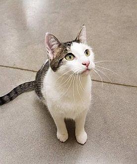 Domestic Shorthair Cat for adoption in Edmond, Oklahoma - April