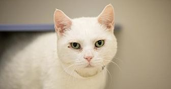 Domestic Shorthair Cat for adoption in New York, New York - Dido