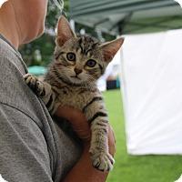 Adopt A Pet :: Little Bo Peep - Rochester, MN