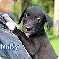 Adopt A Pet :: Buddy - Groton, MA