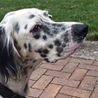 Adopt A Pet :: Bogie - New Braunfels, TX