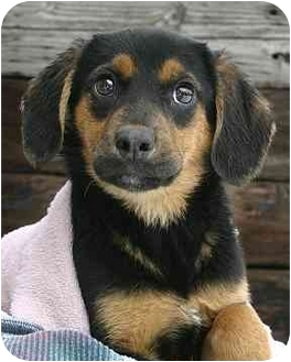 German Shepherd Dog/Beagle Mix Puppy for adoption in Ladysmith, Wisconsin - Alice
