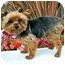 Photo 3 - Yorkie, Yorkshire Terrier Dog for adoption in Los Angeles, California - MIDGET