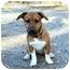 Photo 1 - Boxer/Dachshund Mix Puppy for adoption in Cleveland, Georgia - Rascal