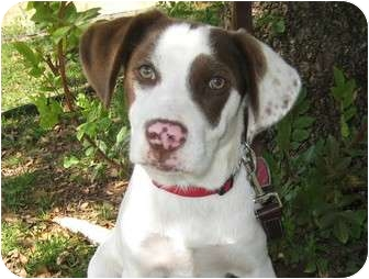 Beagle/Border Collie Mix Puppy for adoption in Los Angeles, California - Sirus