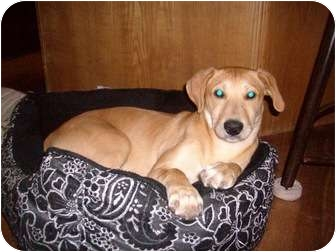 Labrador Retriever/Whippet Mix Puppy for adoption in Naperville, Illinois - Sunny