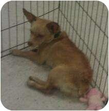 Corgi Mix Dog for adoption in Phoenix, Arizona - Vanilla