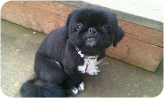 Pekingese Mix Dog for adoption in Molalla, Oregon - Chin Chin