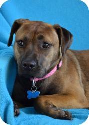 Boxer/Shepherd (Unknown Type) Mix Dog for adoption in Minneapolis, Minnesota - Cora