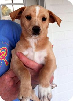 Dachshund/Chihuahua Mix Puppy for adoption in Gilbert, Arizona - Phoebe