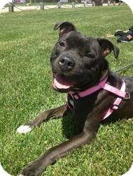 Pit Bull Terrier Mix Dog for adoption in West Warwick, Rhode Island - Kassie