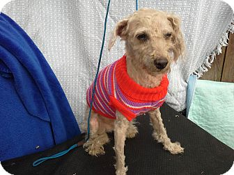 Poodle (Miniature)/Italian Greyhound Mix Dog for adoption in Hagerstown, Maryland - Dorian