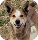 Australian Cattle Dog/Blue Lacy/Texas Lacy Mix Dog for adoption in Lincolnton, North Carolina - Candy-Red Heeler