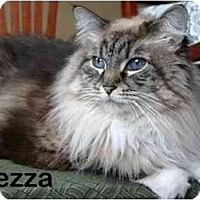 Adopt A Pet :: Mezza - Portland, OR