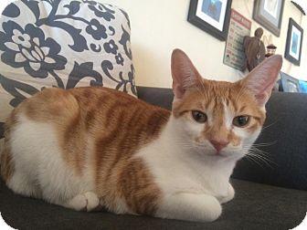 American Shorthair Kitten for adoption in Upper Marlboro, Maryland - Jasper