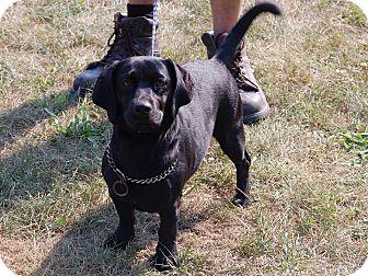 Dachshund Mix Dog for adoption in North Judson, Indiana - Gidget