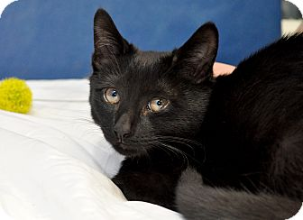 Domestic Shorthair Cat for adoption in Wilmington, Delaware - Atticus