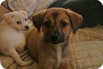 Labrador Retriever/Boxer Mix Puppy for adoption in Milton, New York - Holly