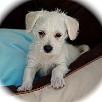 Adopt A Pet :: Traci - La Habra Heights, CA