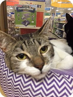 Domestic Shorthair Cat for adoption in Monroe, Georgia - Sissy Sue