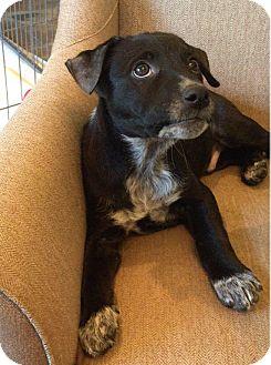 Labrador Retriever/Pointer Mix Puppy for adoption in Chicago, Illinois - Flynn