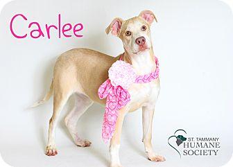 Labrador Retriever/American Pit Bull Terrier Mix Puppy for adoption in Covington, Louisiana - Carlee