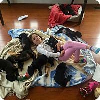 Adopt A Pet :: Puppies (courtesy listing) - Richmond, VA