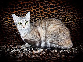 Domestic Shorthair Cat for adoption in McEwen, Tennessee - Hasna