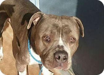 Pit Bull Terrier/American Pit Bull Terrier Mix Dog for adoption in Sacramento, California - Armor