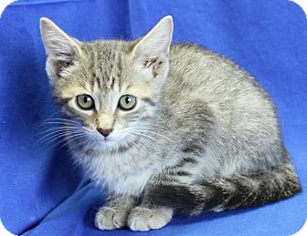Domestic Shorthair Kitten for adoption in Winston-Salem, North Carolina - Lynx