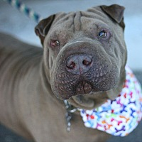 Adopt A Pet :: Mr. Magoo - Canoga Park, CA