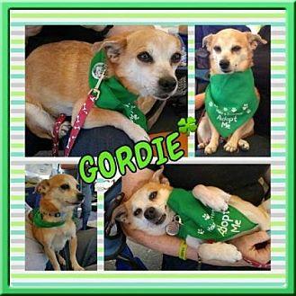 Chihuahua Mix Dog for adoption in Scottsdale, Arizona - Gordie