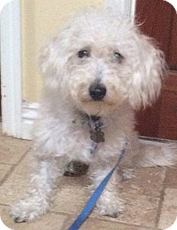 Poodle (Miniature)/Havanese Mix Puppy for adoption in Poway, California - Toby
