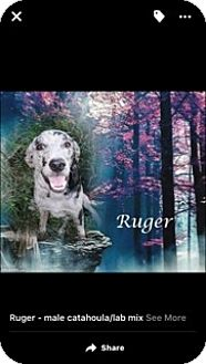 Catahoula Leopard Dog Mix Puppy for adoption in Crowley, Louisiana - Ruger