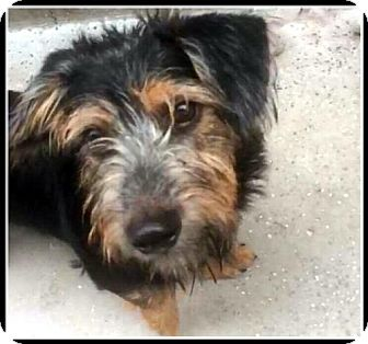Dachshund/Standard Schnauzer Mix Dog for adoption in Portland, Oregon - Noodles