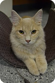 Domestic Mediumhair Cat for adoption in Michigan City, Indiana - Einstein