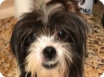 Shih Tzu/Maltese Mix Dog for adoption in Boynton Beach, Florida - Susie Q