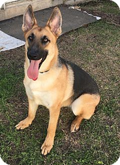 German Shepherd Dog Puppy for adoption in Houston, Texas - Deacon
