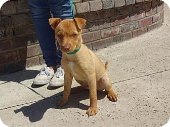Terrier (Unknown Type, Small) Mix Puppy for adoption in Lathrop, California - Artie