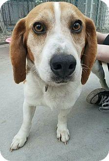 Beagle Mix Dog for adoption in Hanna City, Illinois - Bixby-adoption pending