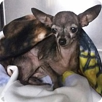 Adopt A Pet :: Hazel - Ardmore, OK