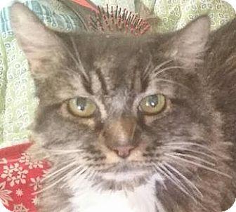 Maine Coon Cat for adoption in Davis, California - Joe Cool