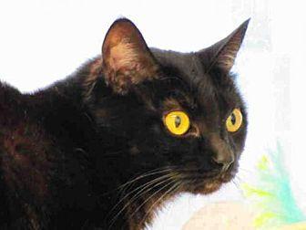 Domestic Mediumhair Cat for adoption in Bonita, California - MARYANNE