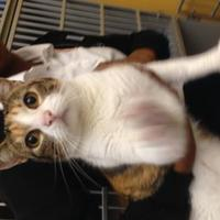 Adopt A Pet :: Ms. Kitty - St. Thomas, VI