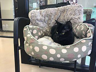 Domestic Shorthair Cat for adoption in Gadsden, Alabama - Mystic