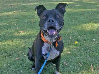 American Staffordshire Terrier/Boston Terrier Mix Dog for adoption in Camarillo, California - CHLOE