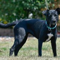 Adopt A Pet :: Taylor - Ottumwa, IA