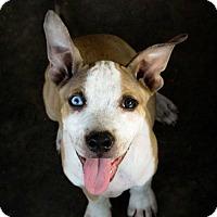 Adopt A Pet :: Jewel - Killeen, TX